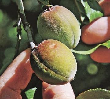 ひょうが当たり傷が入った梅の実(3日、和歌山県みなべ町土井で)