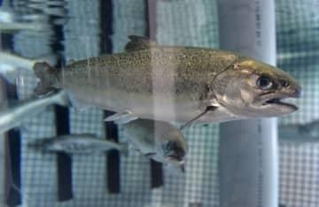 北海道大大学院水産科学研究院が人工ふ化させたキングサーモン=4月、北海道函館市