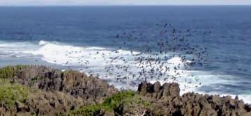 辺戸岬から飛び立つヒヨドリの大群=4月8日、国頭村・辺戸岬(嘉陽宗幸さん提供の動画より)