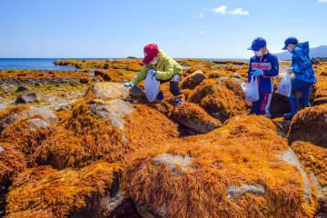 岩にびっしり生えたフノリを収穫する児童