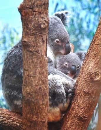 ユーカリの上でのんびりと過ごすユメ(左)とソラ=鹿児島市の平川動物公園