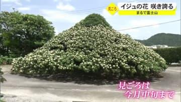 その姿まるで富士山 「伊集富士」今年も咲き誇る