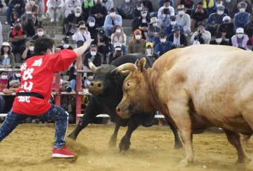 鹿児島県・徳之島で開かれた闘牛大会で、角を激しくぶつけ合う牛=4日午後