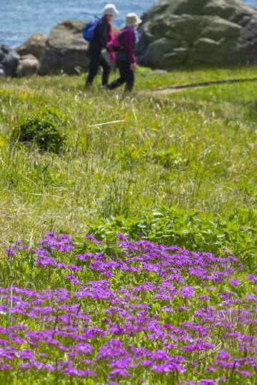 風に揺られ、可憐な花を咲かせるサクラソウ=4日、八戸市の種差海岸