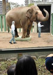 体重計に乗るズゼ=神戸市立王子動物園