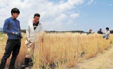 富岡産大麦、ビールに 東北大大学院が今夏試作品