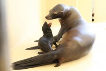 【母親のシルクに寄り添うカリフォルニアアシカの赤ちゃん(鳥羽水族館提供)】