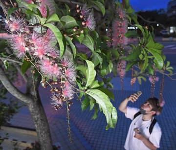 夜風に香る「サガリバナ」 街に夏の風情漂う 那覇