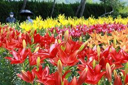 色鮮やかに咲き誇るユリ=篠山玉水ゆり園