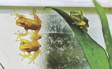 黄色のアマガエルと通常の緑色のアマガエル(右)