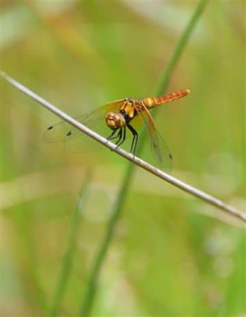 草に止まって羽を休めるハッチョウトンボの雄。成熟すると体色がさらに鮮やかな赤色になる=上天草市