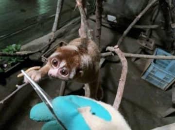 東山動物園に貸し出すスンダスローロリスのセイコ(札幌市円山動物園提供)