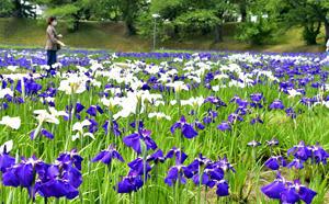 喜多方「花しょうぶ祭り」開幕 白、紫…壮観36000株の花見ごろ