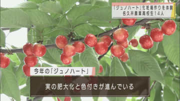 青森県産サクランボ「ジュノハート」 7月初旬の出荷前に高校生が化粧箱作りを体験 画像