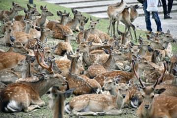 奈良の博物館前に「鹿だまり」 排気口の冷気求め?