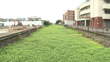 """【追跡】""""地球上最悪の侵略的植物""""全国15府県で猛威 水害引き起こす恐れも"""