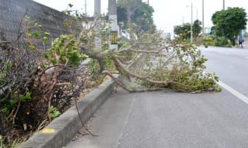 根元から折れた街路樹=21日、宮古島市平良下里