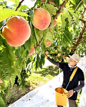 収穫が始まった県産モモの主力品種「あかつき」=21日午前、桑折町伊達崎