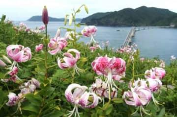 甑大橋を見下ろす斜面に咲き誇るカノコユリ=薩摩川内市鹿島