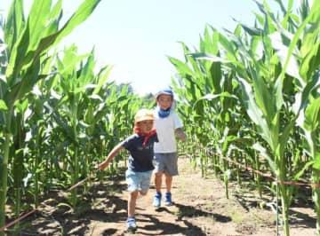 トウモロコシ迷路を楽しむ一方井保育所の子どもたち