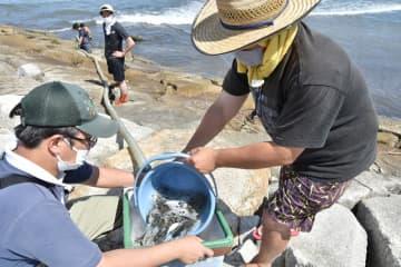 いすみの新たな特産品に トラフグ稚魚放流 伊勢エビやマダコに続け! 漁業者80人バケツリレー