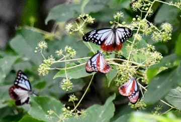 部子山に飛来し、羽を休めるアサギマダラ=9月14日、福井県池田町水海