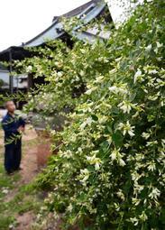 しだれるように咲いたハギの花=神戸市須磨区妙法寺、明光寺