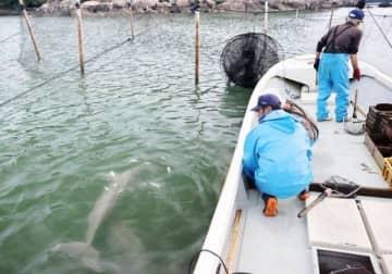 定置網漁の魚のおこぼれを食べるスナメリ