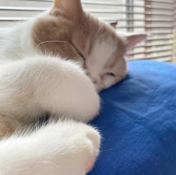 ブリーダー崩壊、糞尿の悪臭漂う現場からレスキューされた猫 おっとりした姿に優しい気持ちになれる