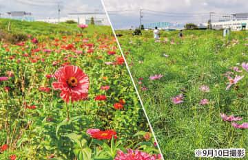 百日草と秋桜の共演 見ごろは9月下旬 平塚市