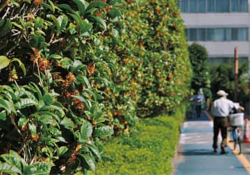 甘い香りでお出迎え 麻生区役所で「キンモクセイ」開花 川崎市麻生区