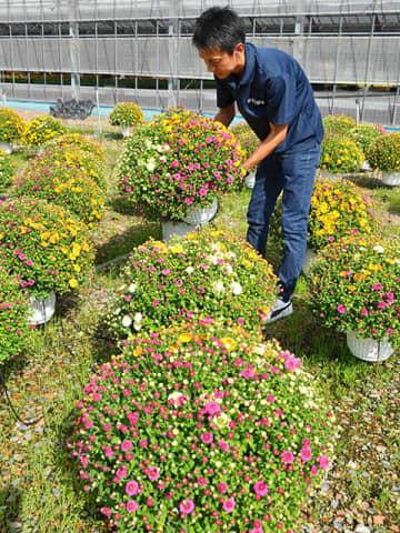 出荷を待つ三色植えのガーデンマム=富加町羽生、丸富園芸