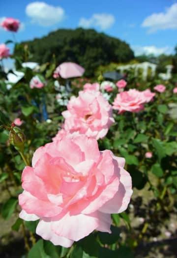豪華に咲き誇る「クイーン・エリザベス」=14日、大阪市東住吉区の長居植物園