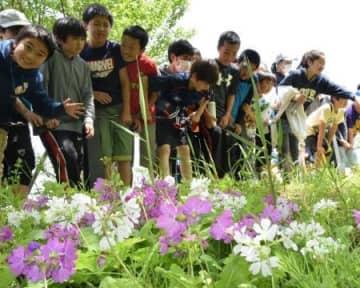小川沿いに希少な花 横浜でサクラソウ開花