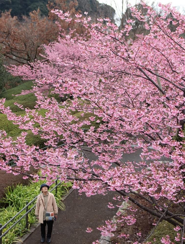 河津桜 早くも見ごろ 西海橋公園