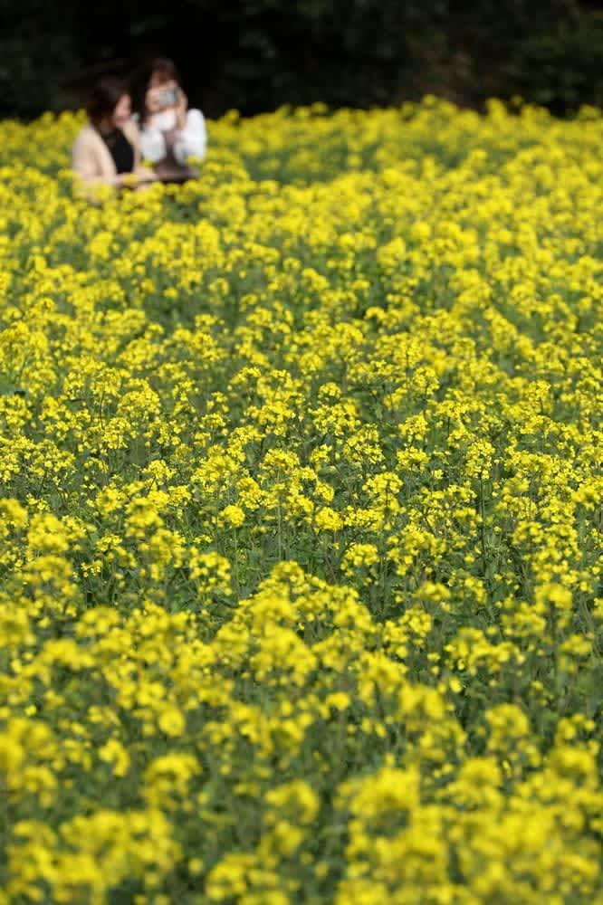 菜の花 じゅうたん 展海峰、15万本一面に