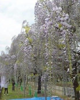 紫色の花を咲かせ、見ごろを迎えた「山田の藤」=玉名市