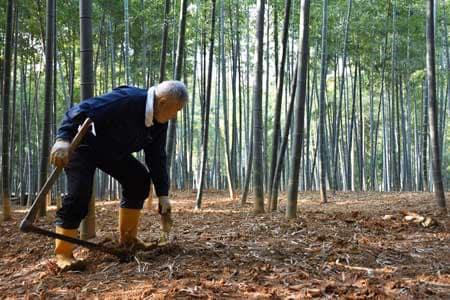 名産タケノコ、今年は凶作 京都府乙訓地域、大雪など響く