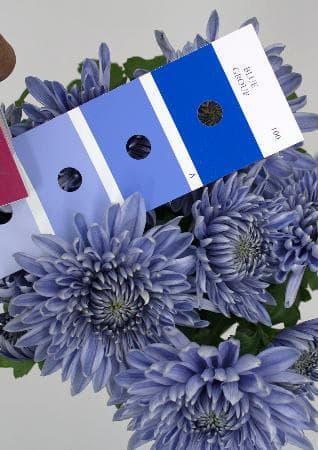 青さを調べる基準の色と比較した青い菊(野田尚信氏提供)