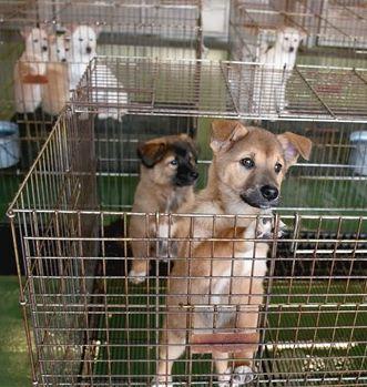 熊本市動物愛護センターで収容している子犬たち