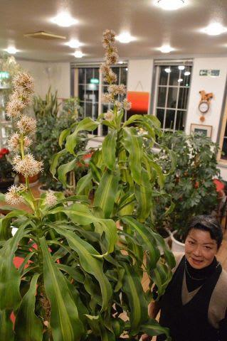 白いかれんな花を咲かせた「幸福の木」と世話をしてきた青木八重子さん