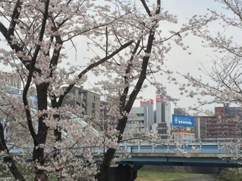 白川河川敷に咲く桜