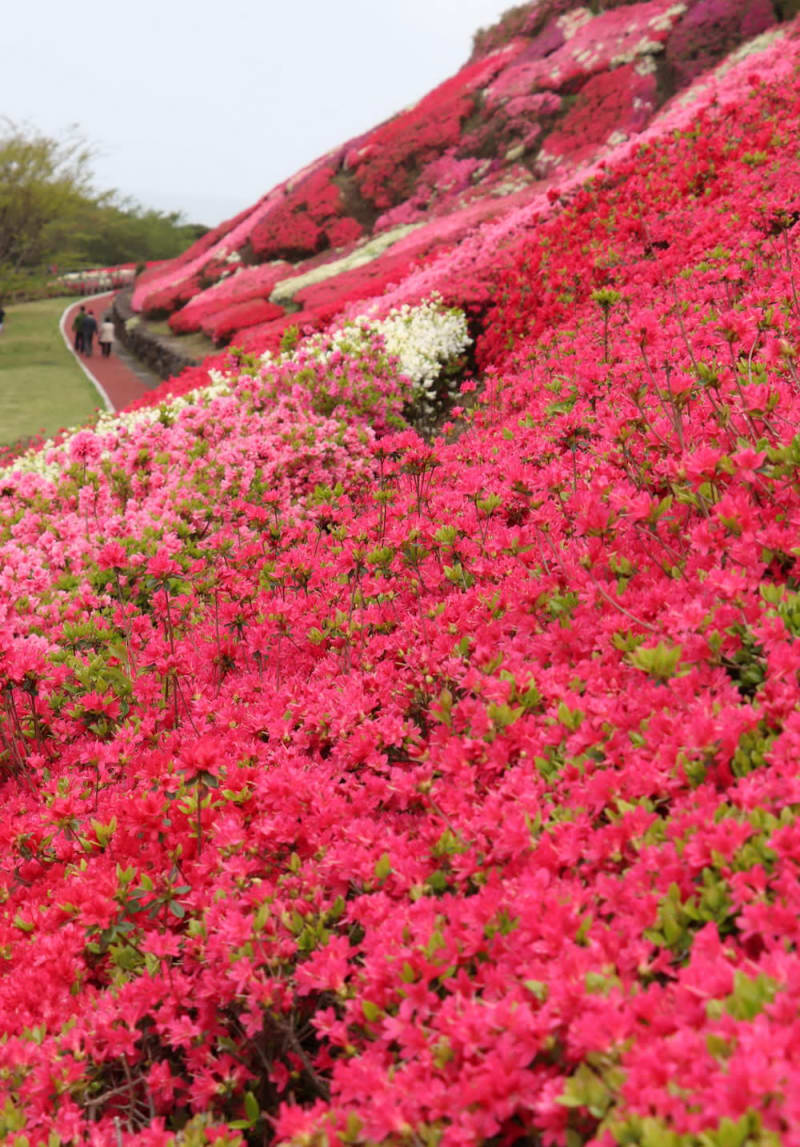 ピンクや紫、白色に咲き誇り、斜面を色鮮やかに染めるツツジ=松浦市、不老山総合公園