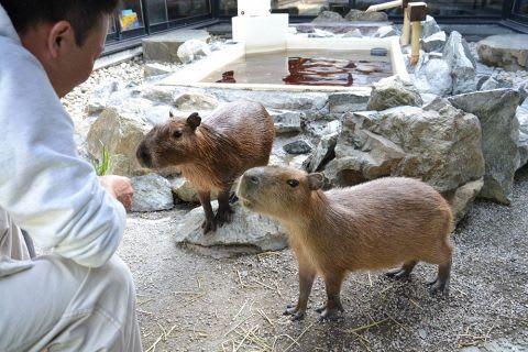 愛らしい姿が人気のカピバラの番太郎(左)と湯姫