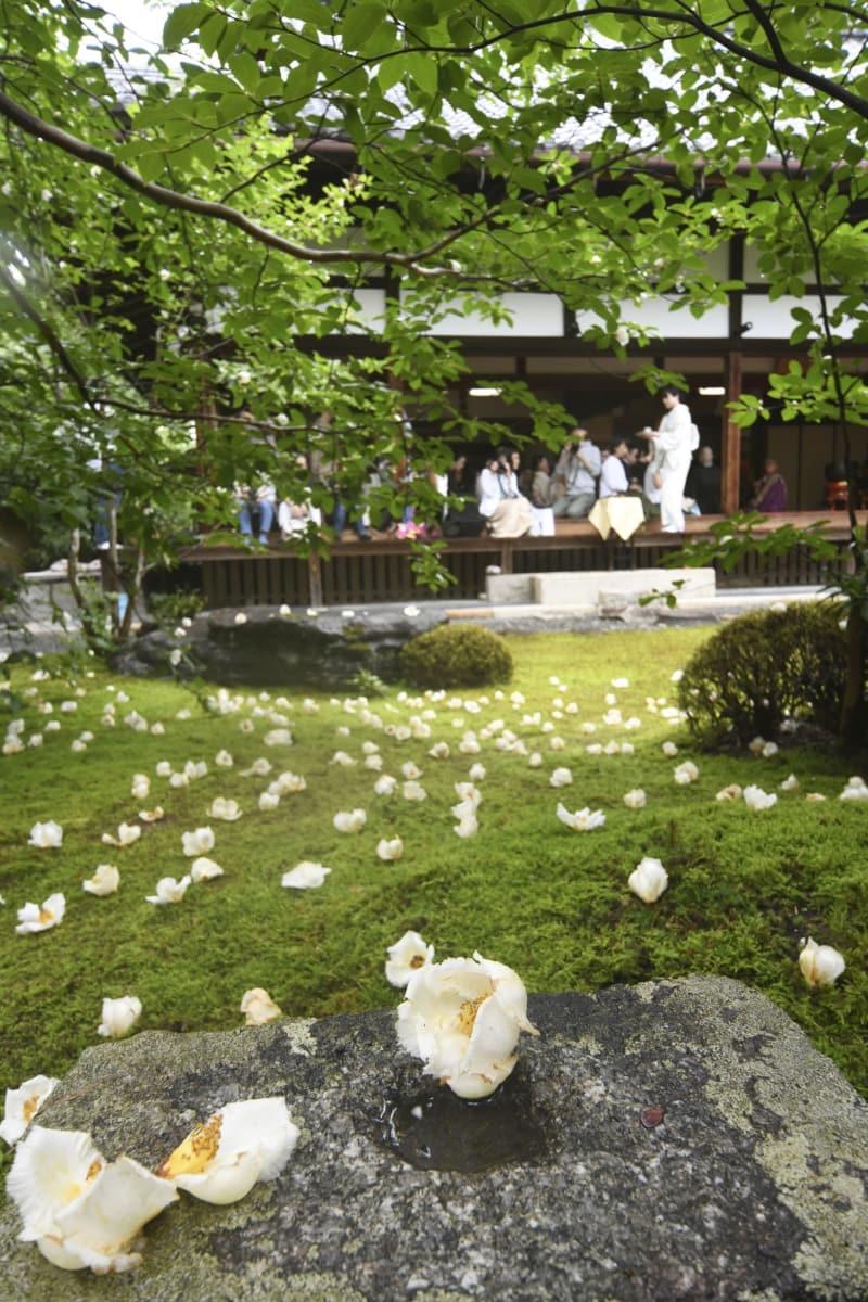 「沙羅双樹」として知られるナツツバキの花が見頃を迎え、妙心寺塔頭の東林院で始まった「愛でる会」=15日午前、京都市