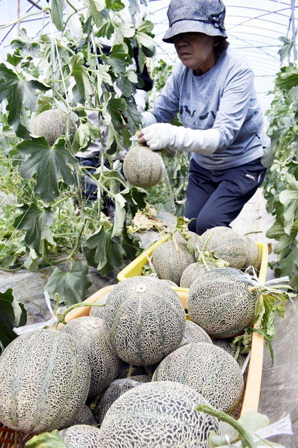 アムスメロンを収穫する栽培農家=阿波市土成町土成
