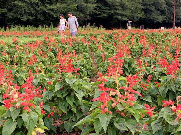サルビアの花が咲き誇る大宮花の丘農林公苑=埼玉県さいたま市西区