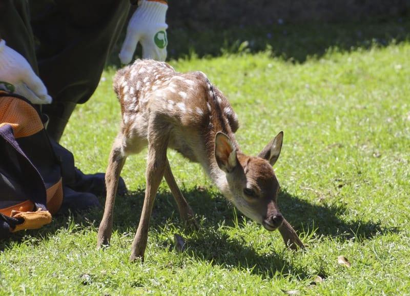 【令和バンビ誕生】奈良公園で令和初の子ジカ 平成元年生まれの職員発見 ->画像>7枚