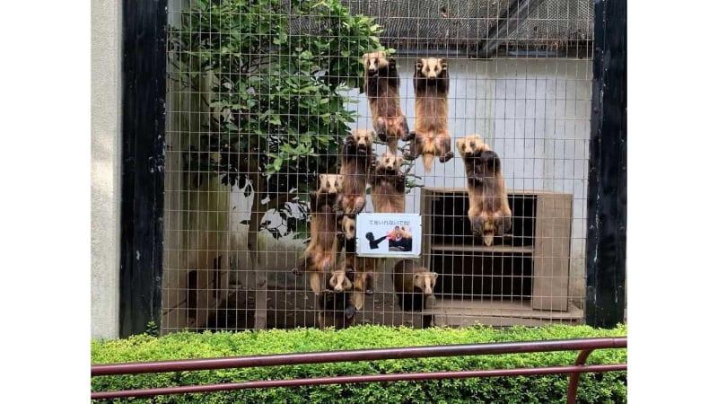 ものすごい視線を感じる…アナグマが集団で訴えていることを盛岡市動物公園に聞いてみた 画像