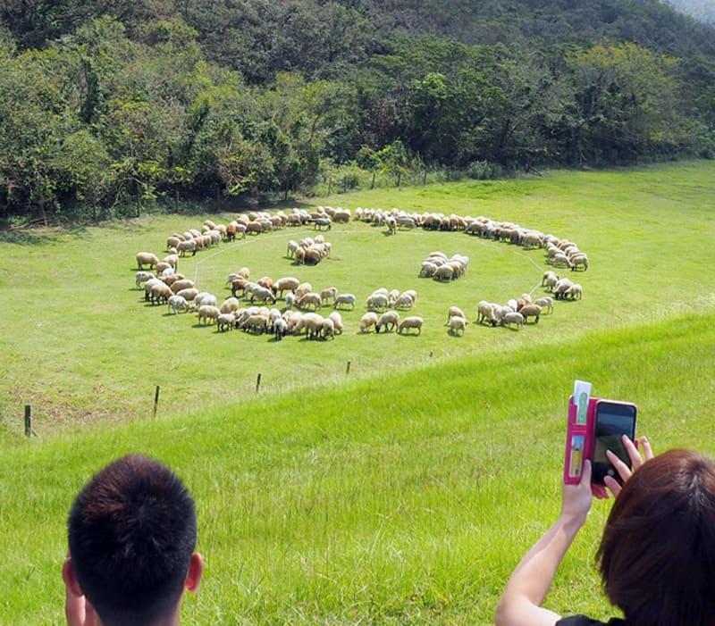 ヒツジ150匹「笑顔」描く 富津・マザー牧場
